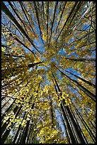 Looking up yellow leaves and forest in autumn color, Tennessee. Great Smoky Mountains National Park, USA.