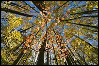 Looking up red leaves and forest in autumn foliage, Tennessee. Great Smoky Mountains National Park, USA.