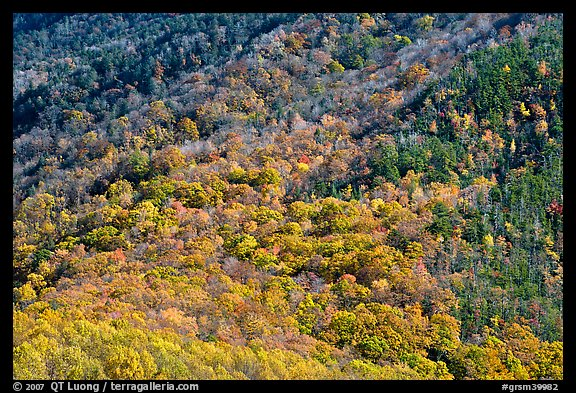 Trees in fall colors on slope, Tennessee. Great Smoky Mountains National Park, USA.