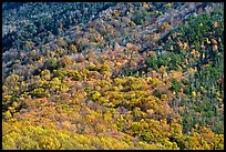 Trees in fall colors on slope, Tennessee. Great Smoky Mountains National Park ( color)