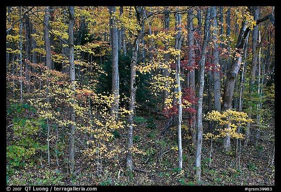Trees with bright leaves in hillside forest, Tennessee. Great Smoky Mountains National Park (color)