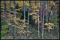 Trees with bright leaves in hillside forest, Tennessee. Great Smoky Mountains National Park, USA.