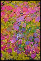 Close-up of tree leaves with autumn color, Tennessee. Great Smoky Mountains National Park, USA. (color)