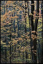 Deciduous forest in autumn, Tennessee. Great Smoky Mountains National Park, USA.