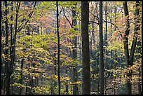 Forest scene in autumn, Tennessee. Great Smoky Mountains National Park ( color)