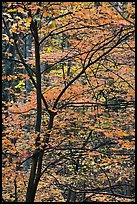 Trees with bright orange leaves, Tennessee. Great Smoky Mountains National Park, USA.