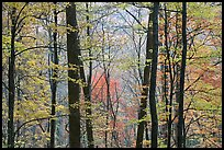 Forest with fall foliage, Tennessee. Great Smoky Mountains National Park ( color)