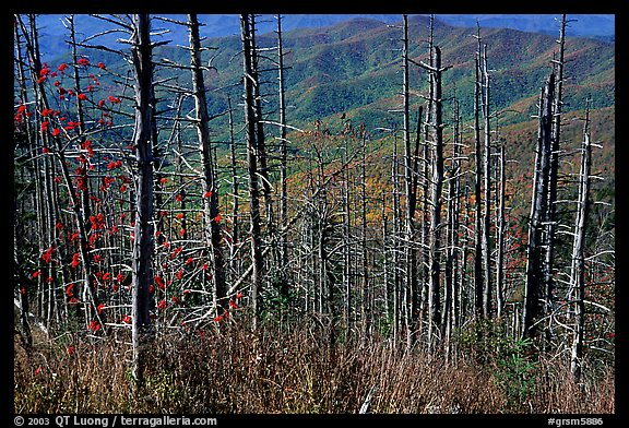 Hillsides in fall color seen through trees with berries, Clingmans Dome, North Carolina. Great Smoky Mountains National Park, USA.
