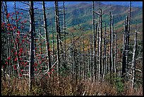 Hillsides in fall color seen through trees with berries, Clingmans Dome, North Carolina. Great Smoky Mountains National Park ( color)
