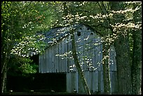 Historical barn with flowering dogwood in spring, Cades Cove, Tennessee. Great Smoky Mountains National Park, USA. (color)