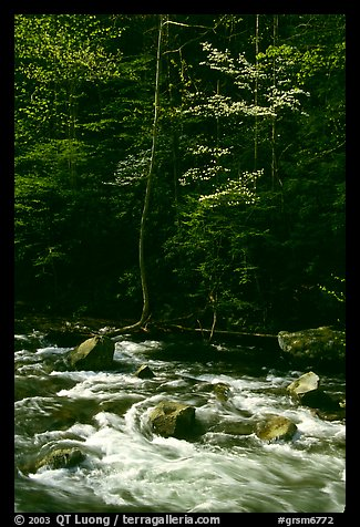 Sunlit Little River and dogwood tree in bloom, early morning, Tennessee. Great Smoky Mountains National Park (color)