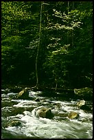 Sunlit Little River and dogwood tree in bloom, early morning, Tennessee. Great Smoky Mountains National Park, USA.