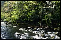 Sunlit Little River in the spring, early morning, Tennessee. Great Smoky Mountains National Park ( color)