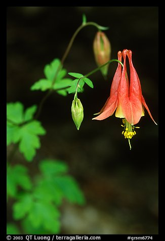 Red Columbine (Aquilegia candensis) close-up, Tennessee. Great Smoky Mountains National Park (color)