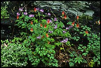 Undergrowth with Forget-me-nots and red Columbine, Tennessee. Great Smoky Mountains National Park ( color)