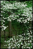 Dogwood tree with white blooms, Tennessee. Great Smoky Mountains National Park, USA. (color)
