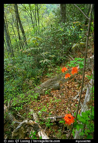 Flame Azaleas along Laurel Falls trail, Tennessee. Great Smoky Mountains National Park, USA.
