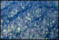 Distant hillside with newly leafed trees, North Carolina. Great Smoky Mountains National Park, USA.