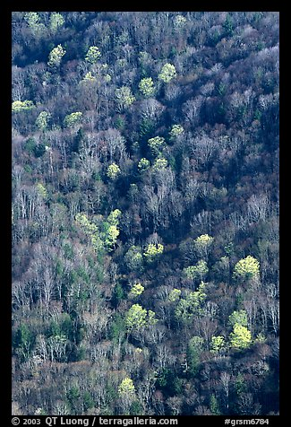Distant mountain slope with partly leafed trees, North Carolina. Great Smoky Mountains National Park (color)