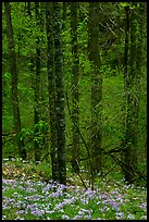 Forest with undergrowth of blue flowers, North Carolina. Great Smoky Mountains National Park, USA.
