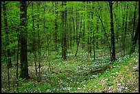 Forest in spring with wildflowers, North Carolina. Great Smoky Mountains National Park, USA. (color)