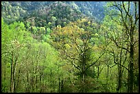 Tender green trees and hillside in spring, late afternoon, Tennessee. Great Smoky Mountains National Park, USA.