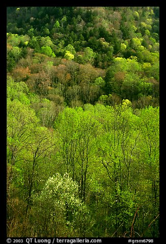 Verdant trees and hillside in spring, late afternoon, Tennessee. Great Smoky Mountains National Park, USA.