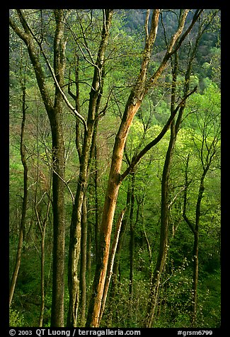 Spring hillside seen through tree trunks, late afternoon, Tennessee. Great Smoky Mountains National Park, USA.