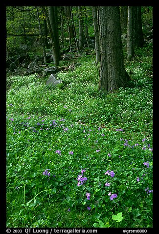 Blue flowers in forest, Chimney area, Tennessee. Great Smoky Mountains National Park (color)
