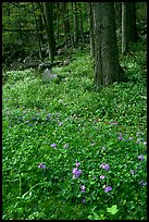 Blue flowers in forest, Chimney area, Tennessee. Great Smoky Mountains National Park, USA.