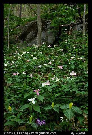 Multicolored Trillium in spring forest, Chimney area, Tennessee. Great Smoky Mountains National Park (color)