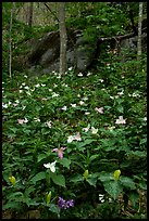 Multicolored Trillium in spring forest, Chimney area, Tennessee. Great Smoky Mountains National Park, USA.