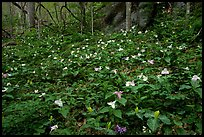 Carpet of multicolored Trilium in forest, Chimney area, Tennessee. Great Smoky Mountains National Park ( color)