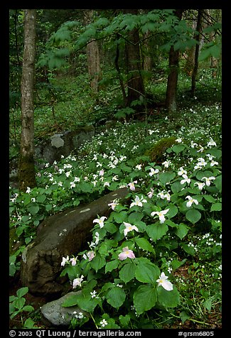 Carpet of White Trilium in verdant forest, Chimney area, Tennessee. Great Smoky Mountains National Park, USA.