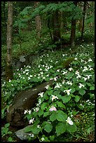 Carpet of White Trilium in verdant forest, Chimney area, Tennessee. Great Smoky Mountains National Park ( color)