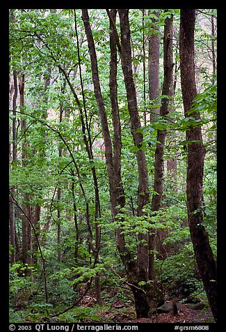 Spring Forest in rain, Chimney area, Tennessee. Great Smoky Mountains National Park (color)