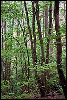 Spring Forest in rain, Chimney area, Tennessee. Great Smoky Mountains National Park, USA.