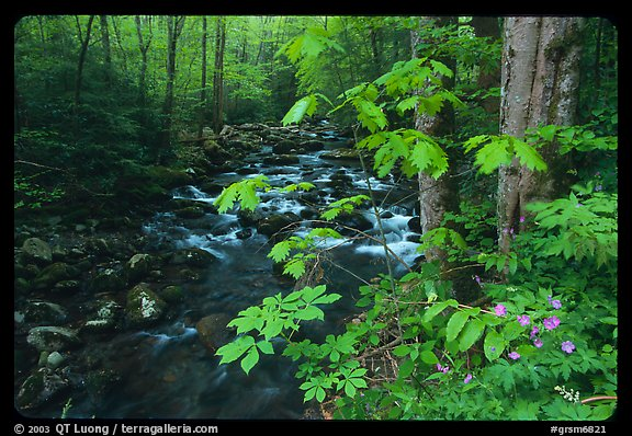 Wildflowers next to the Middle Prong of the Little Pigeon River, Tennessee. Great Smoky Mountains National Park, USA.