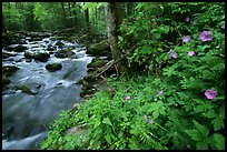 Spring Wildflowers next river flowing in forest, Greenbrier, Tennessee. Great Smoky Mountains National Park, USA.