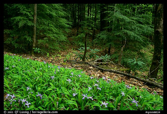 Crested Dwarf Irises and forest, Greenbrier, Tennessee. Great Smoky Mountains National Park (color)