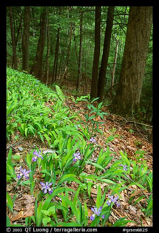 Crested Dwarf Irises blooming in the spring, Greenbrier, Tennessee. Great Smoky Mountains National Park (color)