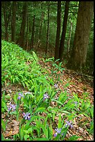 Crested Dwarf Irises blooming in the spring, Greenbrier, Tennessee. Great Smoky Mountains National Park, USA.