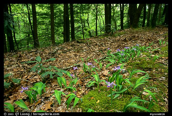 Forest floor with Crested Dwarf Iris, Greenbrier, Tennessee. Great Smoky Mountains National Park (color)