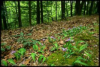 Forest floor with Crested Dwarf Iris, Greenbrier, Tennessee. Great Smoky Mountains National Park, USA.