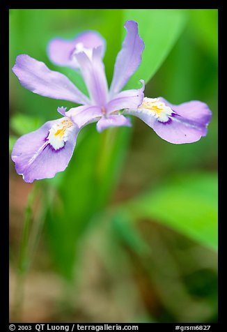 Crested Dwarf Iris close-up, Tennessee. Great Smoky Mountains National Park, USA.