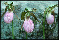 Three pink lady slippers and rock, Tennessee. Great Smoky Mountains National Park, USA.