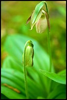Yellow lady slippers close-up, Tennessee. Great Smoky Mountains National Park, USA. (color)