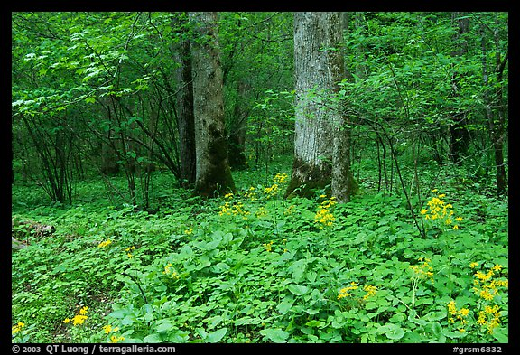 Yellow flowers on forest floor, Greenbrier, Tennessee. Great Smoky Mountains National Park (color)