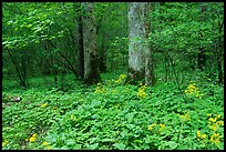Yellow flowers on forest floor, Greenbrier, Tennessee. Great Smoky Mountains National Park ( color)