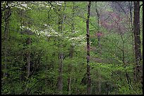 Blooming Dogwood and redbud trees in forest, Tennessee. Great Smoky Mountains National Park ( color)